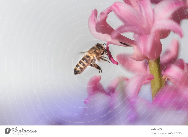 Nature Flower Animal Environment Blossom Spring Garden Pink Work and employment Flying Blossoming Touch Target Insect Bee Fragrance