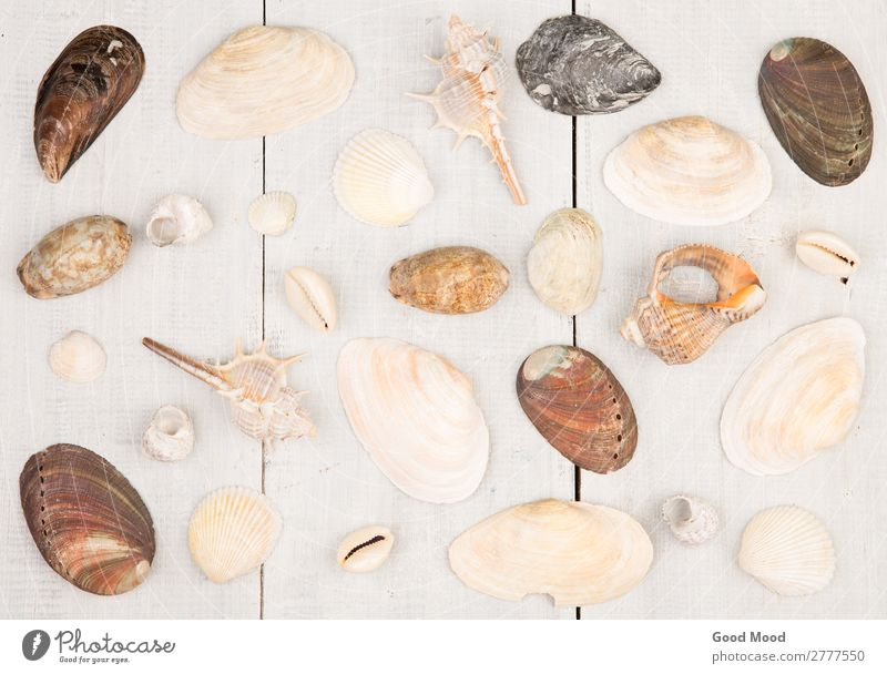 The group of sea shells on white wooden background Exotic Life Vacation & Travel Summer Beach Ocean House (Residential Structure) Decoration Nature Coast