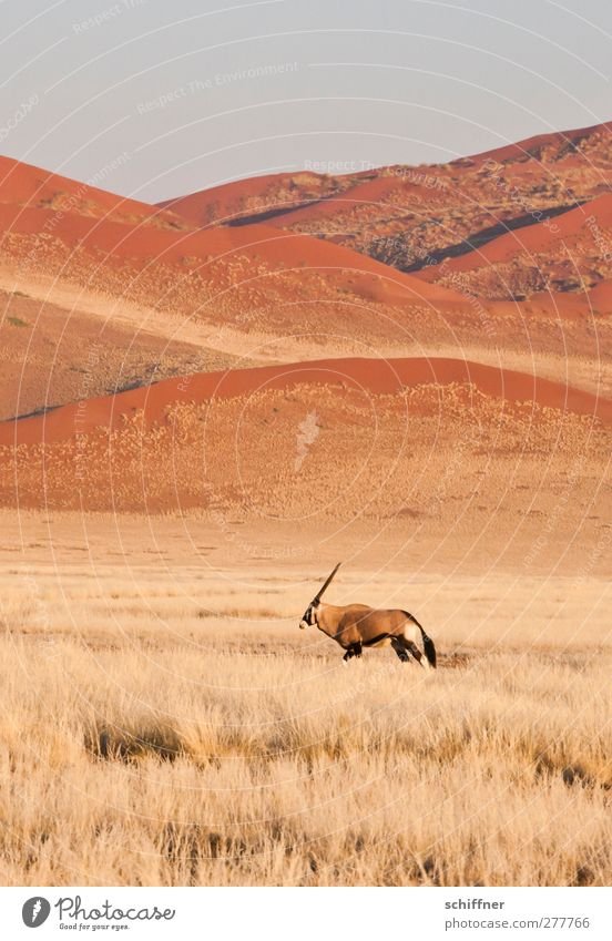 Nature Red Loneliness Animal Landscape Environment Grass Going Wild animal Individual Desert Beach dune Dune Grassland Steppe Safari