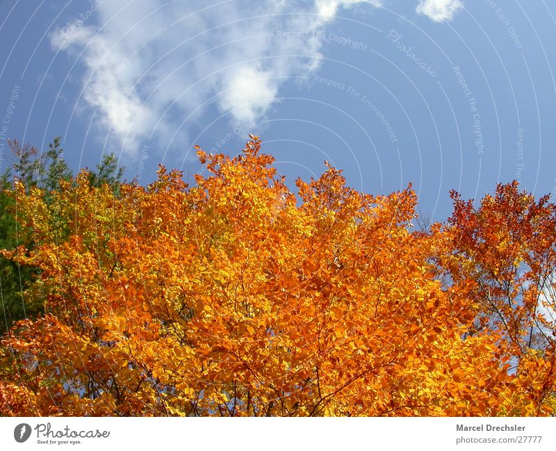 autumn foliage Leaf Autumn September October November Calm Tree Maple tree Clouds Orange Colour Contrast Sky