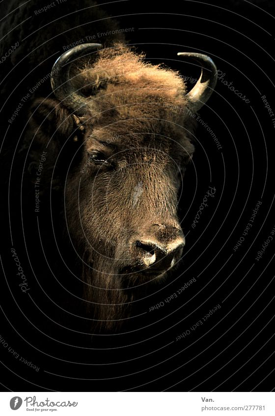 self-portrait Animal Wild animal Animal face Head Bison Antlers 1 Large Brown Black Pelt Colour photo Subdued colour Interior shot Deserted Copy Space right