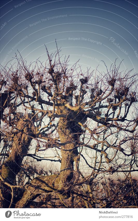 lonely tree Environment Nature Sky Cloudless sky Tree Wood Growth Old Unwavering Copy Space top Leafless Branchage Twig Deciduous tree