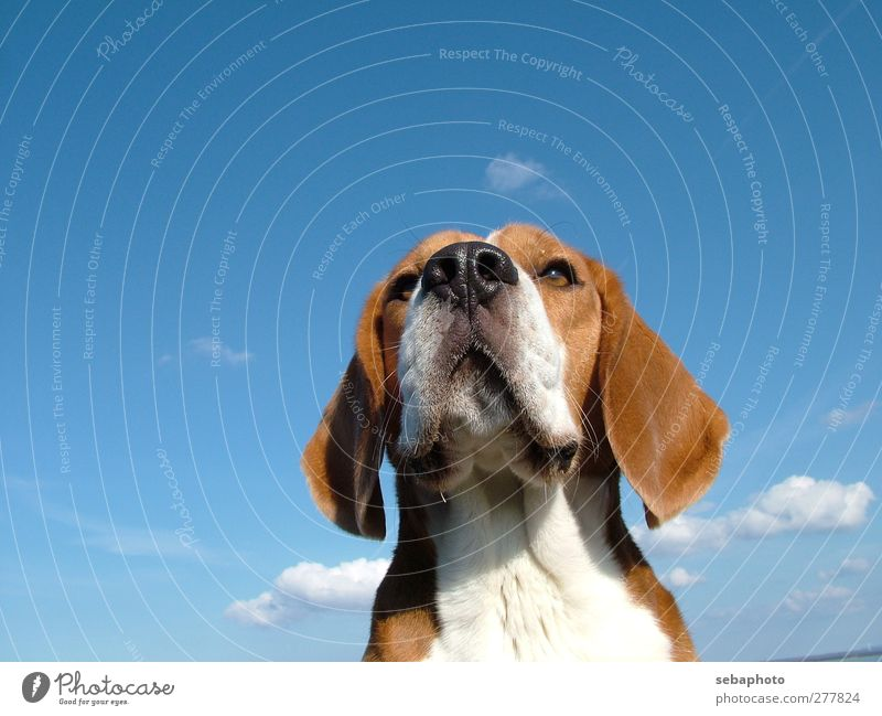 Dog Beagle Nature Sky Clouds Summer Beautiful weather Animal Pet Animal face Pelt 1 Looking Wait Esthetic Cool (slang) Elegant Blue Brown White Self-confident