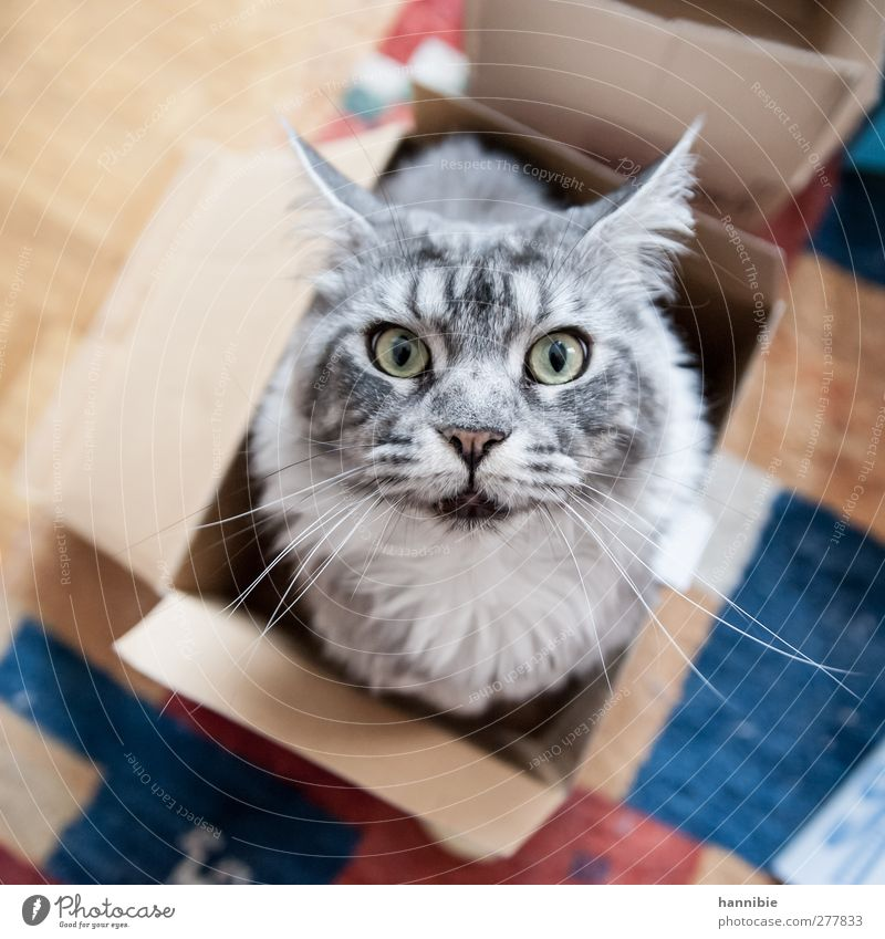 Cat Blue Beautiful Animal Eyes Gray Brown Soft Curiosity Pelt Box Cardboard Pet Domestic cat Carton