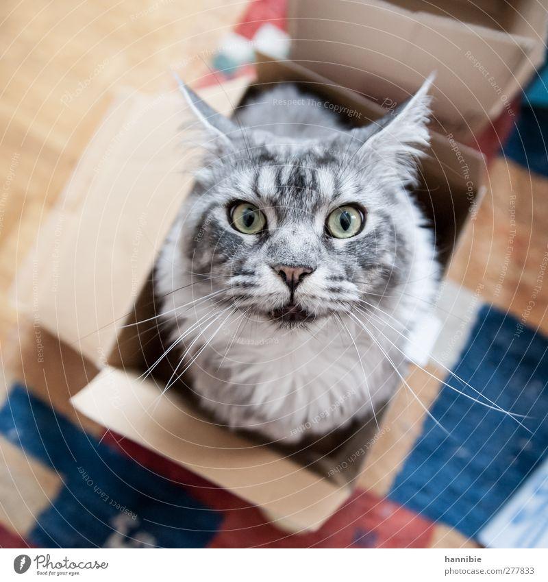 Cat' in box Pet Pelt 1 Animal Box Curiosity Beautiful Soft Blue Brown Gray Domestic cat Eyes Carton Cardboard Colour photo Interior shot Bird's-eye view