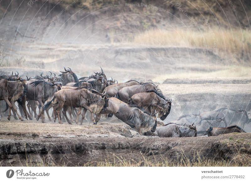 leap of faith Environment Nature Animal Wild animal Gnu black wildebeest Herd Running Jump Hiking Speed Brown Yellow Gold Power Willpower Brave Dangerous