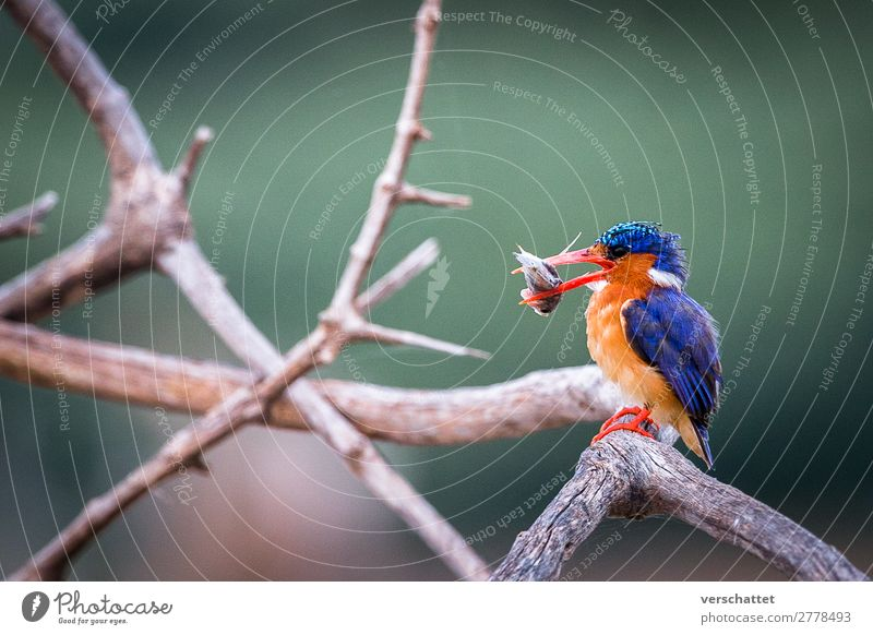 Kingfisher at breakfast Environment Nature Landscape Lakeside Wild animal Bird 1 Animal Eating To feed Hunting Sit Athletic Exotic Free Beautiful Delicious