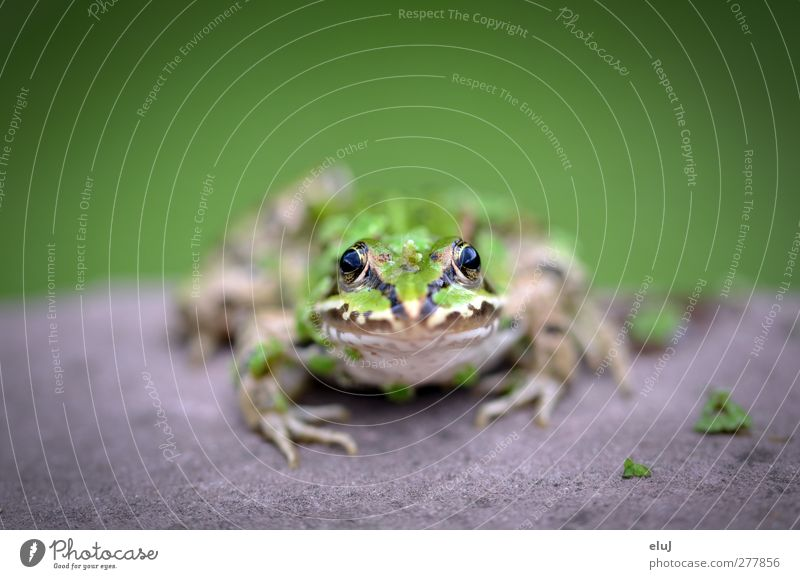 What are you looking at?! Animal Frog 1 Observe Looking Sit Glittering Slimy Brown Yellow Gray Green Black Curiosity Stone Colour photo Exterior shot