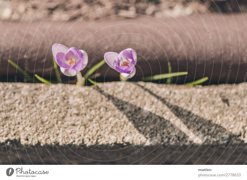 will to live Plant Spring Blossom Wild plant Street Fight Town Brown Gray Violet Crocus Struggle for survival Roadside fight through get through Colour photo