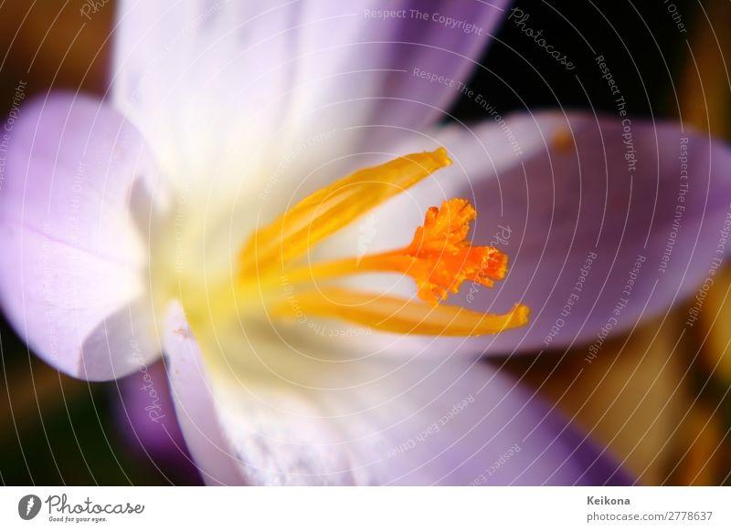 Fragile purple crocus macro. Nature Plant Sun Spring Flower Crocus Blossoming Growth Yellow Violet Orange Saffron Macro (Extreme close-up) Colour photo Day