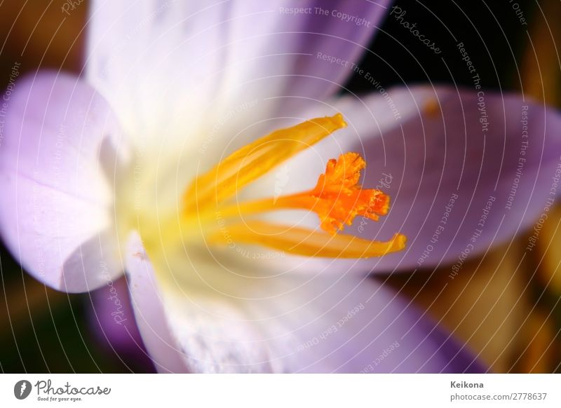 Nature Plant Sun Flower Yellow Spring Orange Growth Blossoming Violet Crocus Saffron