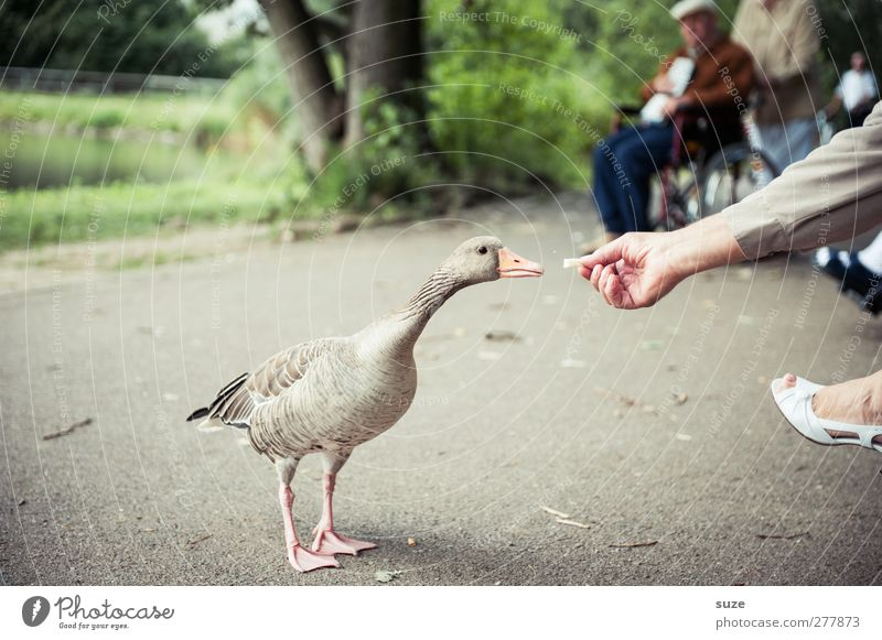 Goose nice people Human being Hand Feet Environment Park Animal Wild animal Bird Wild goose 1 Feeding Authentic Natural Curiosity Gray lag goose Animalistic