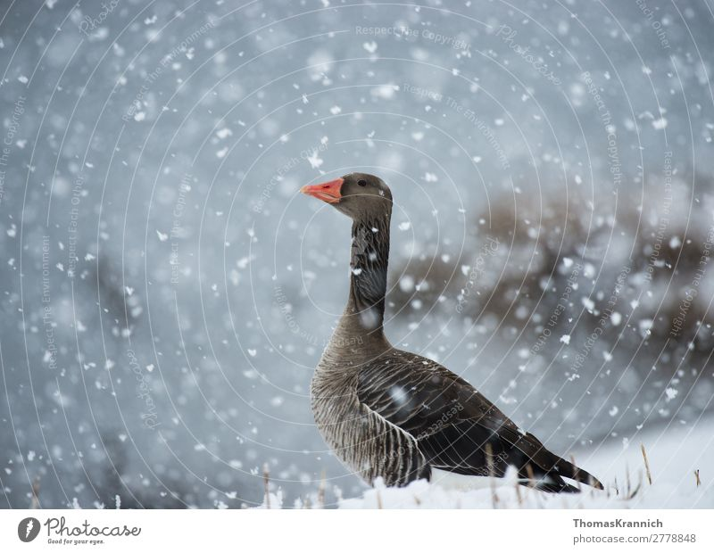 Greylag goose graceful in the snow Nature Winter Weather Snow Snowfall Animal Wild animal Goose 1 Looking Esthetic Elegant Blue Gray Contentment Calm Longing