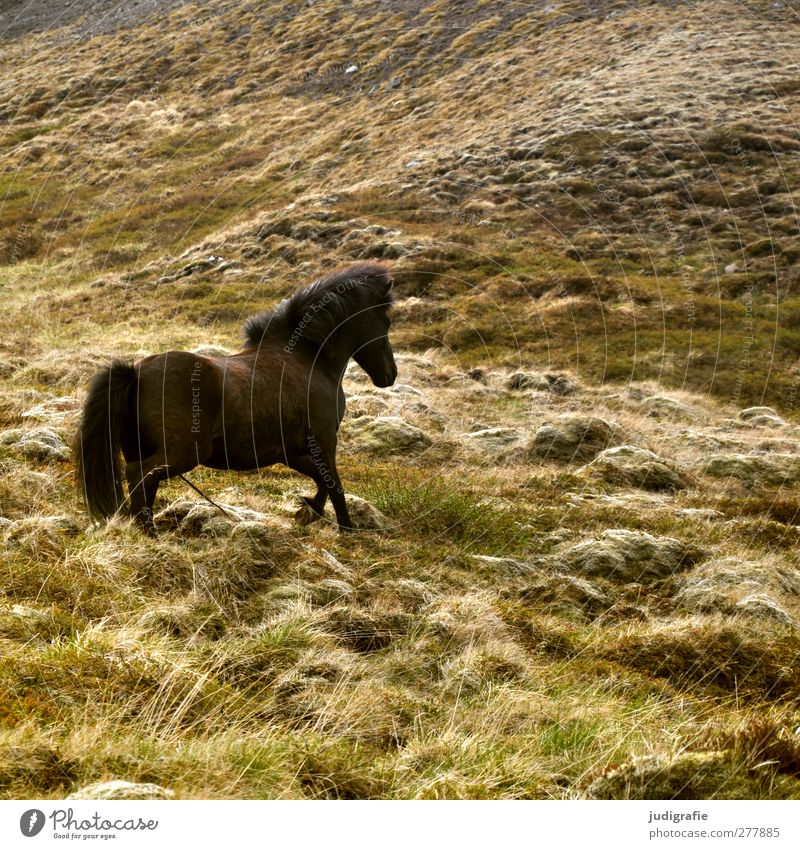 Nature Animal Environment Grass Brown Natural Wild Walking Free Horse Hill Iceland Pony