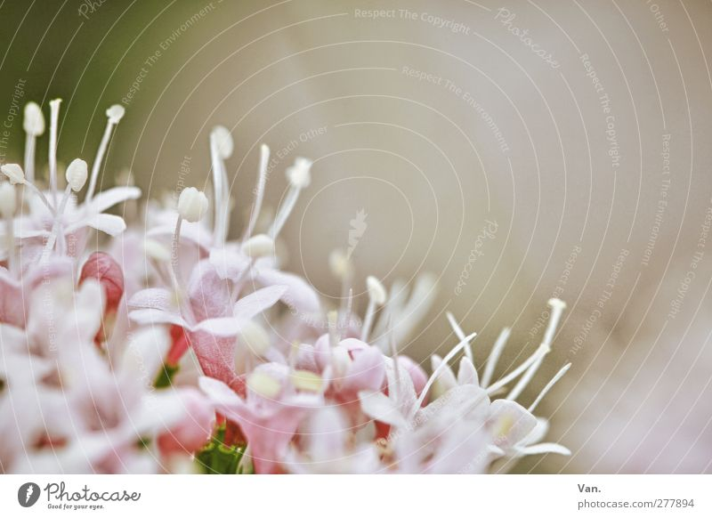 flower Nature Plant Flower Blossom Garden Fresh Pink Calyx Colour photo Subdued colour Close-up Deserted Copy Space top Neutral Background Day