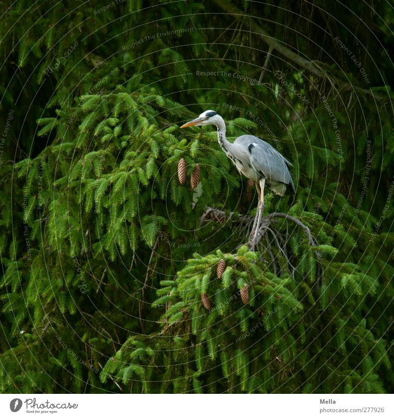 in the green Environment Nature Plant Animal Tree Fir tree Spruce Coniferous trees Branchage Wild animal Bird Heron Grey heron 1 Looking Stand Free Natural