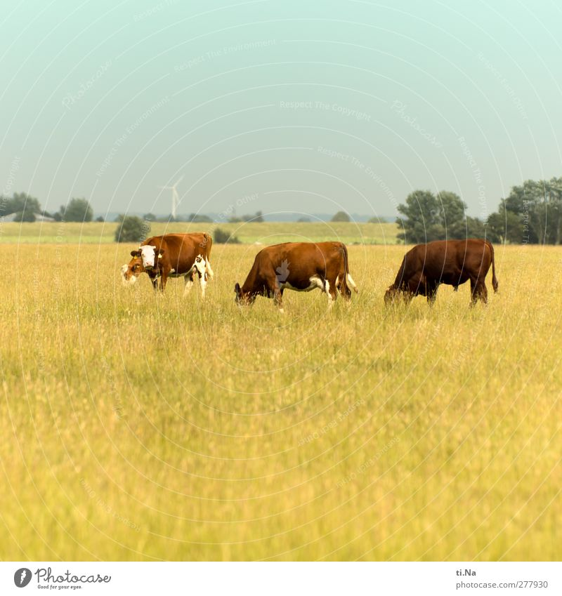 lucky grazing Landscape Dithmarschen Farm animal Cow Bullock 3 Animal Group of animals Observe To feed Growth Hiking Curiosity Brown Yellow Turquoise