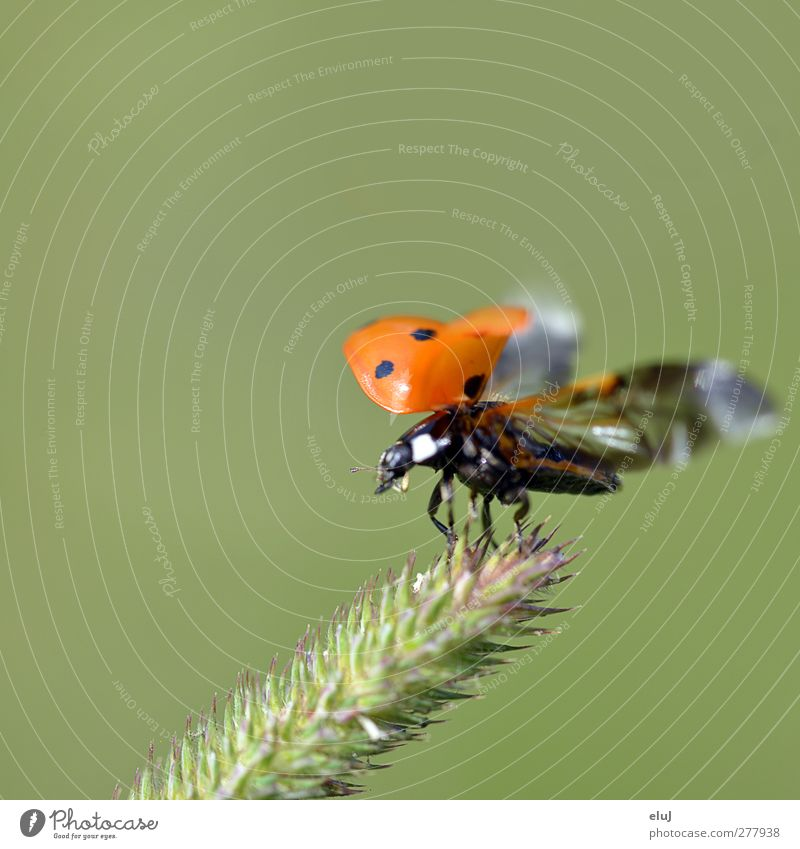 lift-off Bushes Foliage plant Animal Beetle 1 Flying Small Green Orange Red Black White Ladybird Dynamics Movement Spotted Colour photo Exterior shot