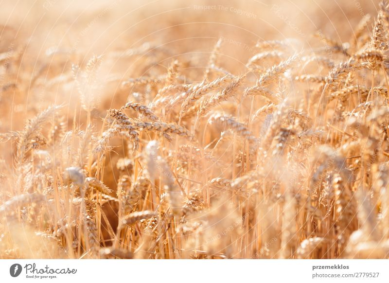 Closeup of field of ripe golden wheat Beautiful Summer Environment Nature Landscape Plant Flower Growth Fresh Natural Yellow Gold agricultural agriculture