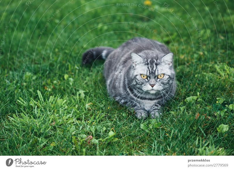 Grey cat sitting on a grass in a garden Beautiful Animal Grass Pet Cat Sit Funny Cute Gray Green Delightful Domestic furry Kitten Colour photo Exterior shot