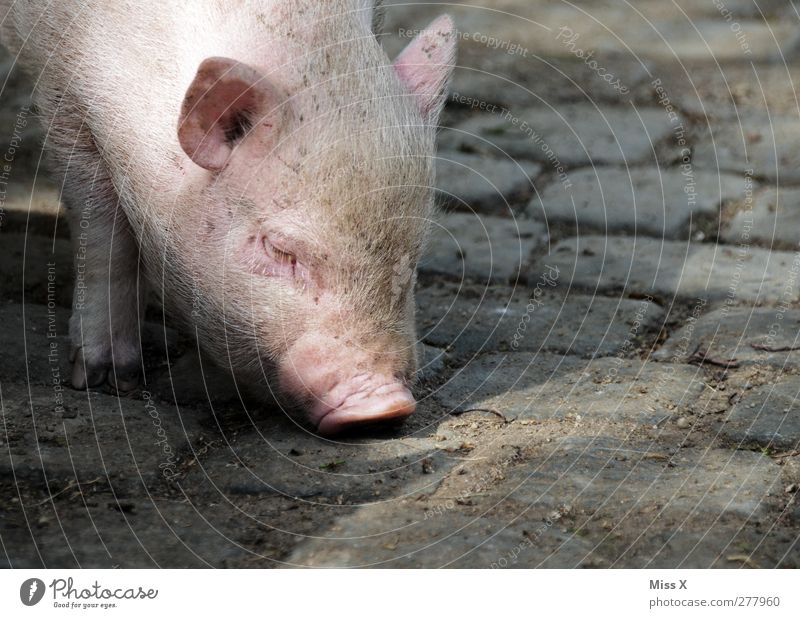 sugl Animal Farm animal 1 Baby animal Fat Dirty Pink Swine Piglet Pig's snout Search Odor Cobblestones Bristles Head Colour photo Exterior shot Close-up