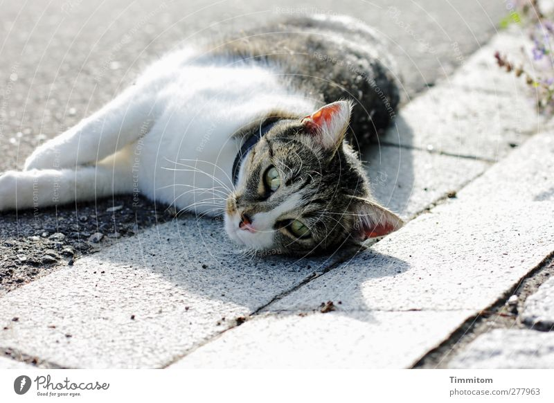 Cat White Animal Relaxation Street Emotions Gray Lie