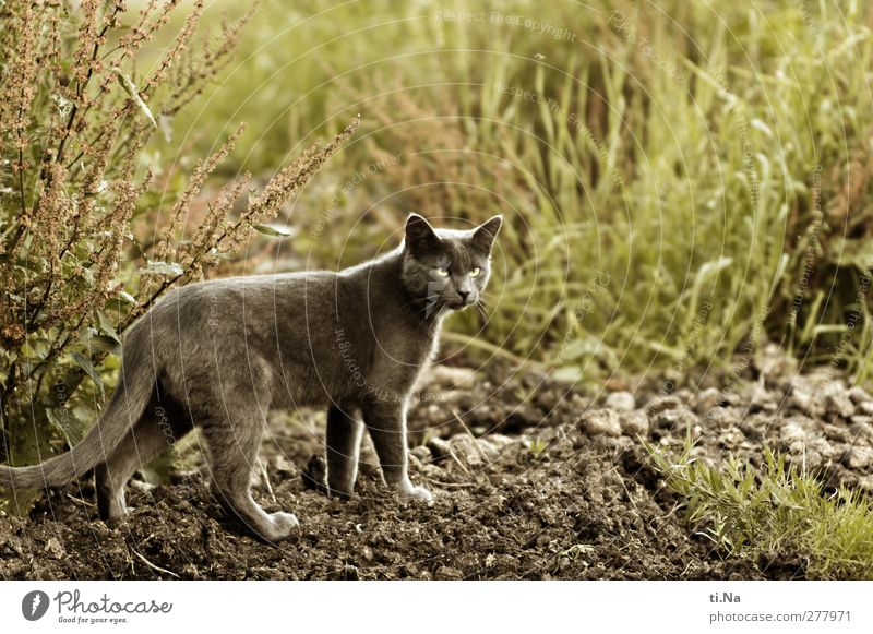 maigret Nature Earth Sand Summer Grass Bushes Meadow Field Pet Cat 1 Animal Observe Discover Hunting Esthetic Reliability Wild Brown Gray Green
