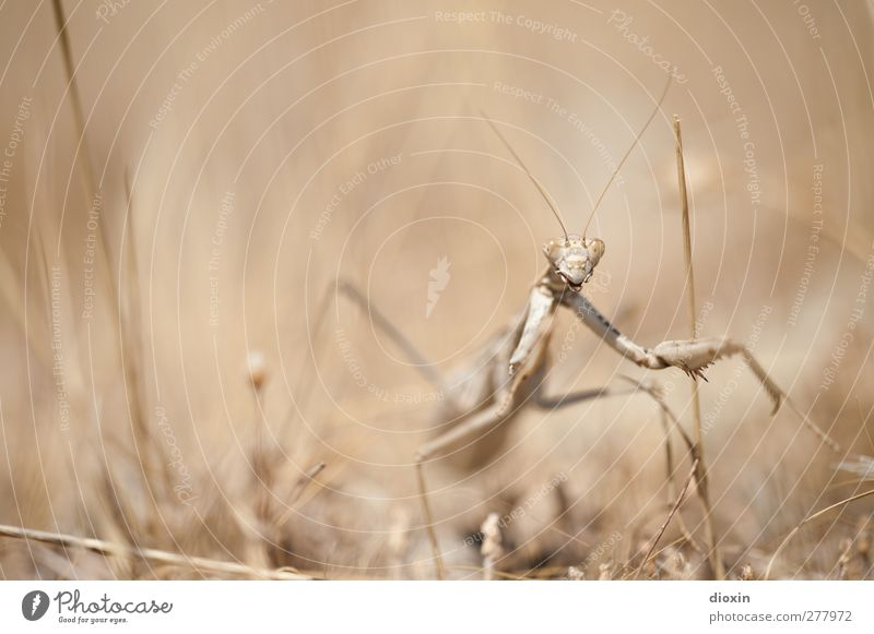 The Seeress -2- Environment Nature Earth Grass Animal Wild animal Praying mantis Insect Mantids 1 Observe Exceptional Creepy Natural Seldom Threat Camouflage