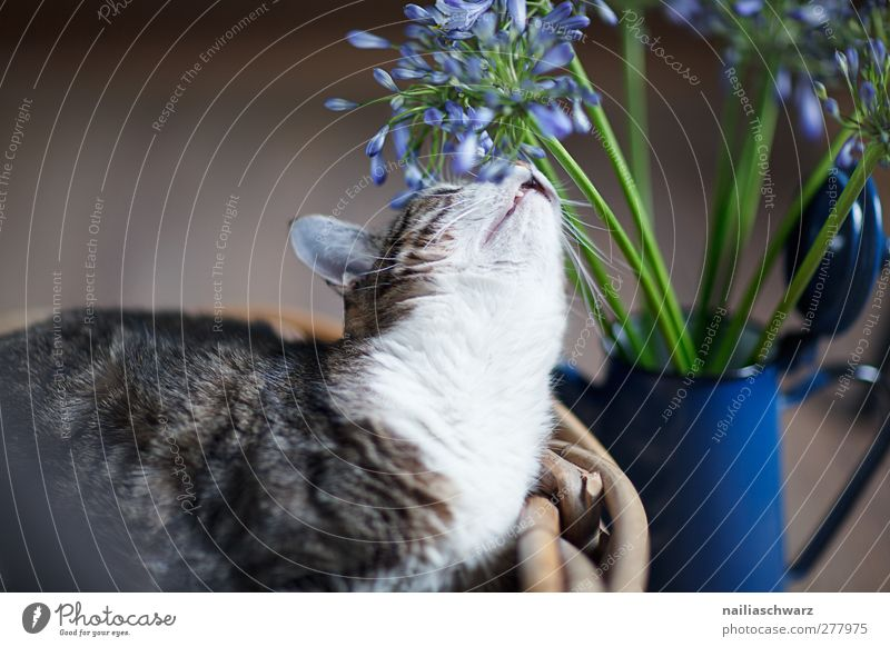 Cat Blue White Animal Calm Brown Lie Contentment Cute Curiosity To enjoy Blossoming Serene Bouquet Fragrance Pet