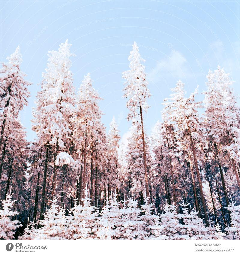 winter New Year's Eve Nature Landscape Plant Cloudless sky Winter Climate Beautiful weather Ice Frost Snow Tree Forest Glittering Cold Blue Brown Orange White