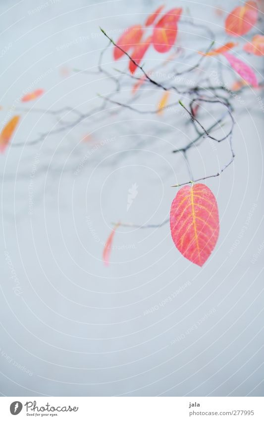 Nature Blue Tree Plant Red Leaf Environment Autumn Gray Natural Esthetic