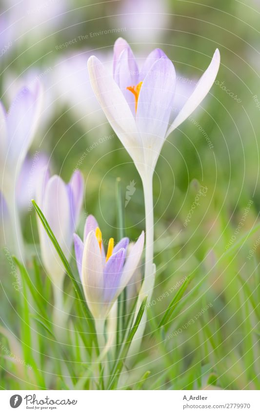 Crocuses in spring Beautiful Harmonious Meditation Fragrance Trip Garden Nature Plant Spring Beautiful weather Flower Blossom Wild plant Meadow Relaxation Love