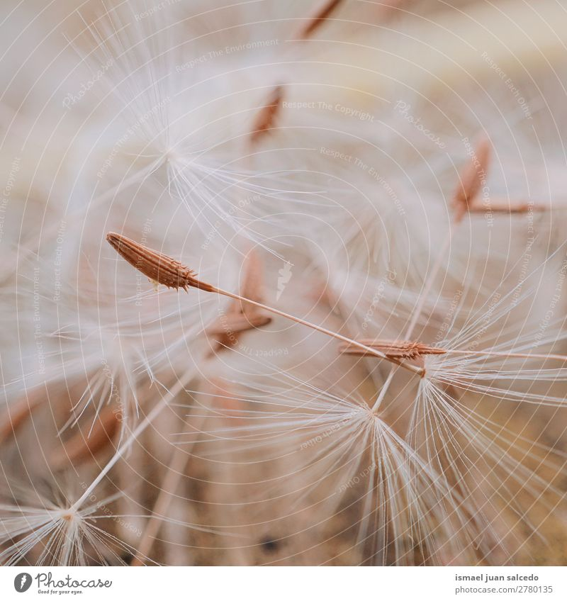 dandelion flower seed Dandelion Flower Plant Floral Garden Nature Decoration Abstract Consistency Soft Exterior shot background romantic fragility