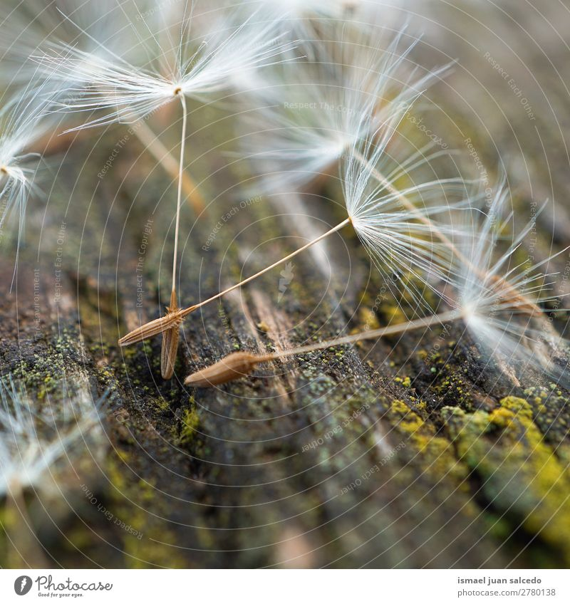 dandelion flower seed Nature Summer Plant Flower Winter Autumn Spring Garden Decoration Soft Beauty Photography Dandelion Consistency Floral