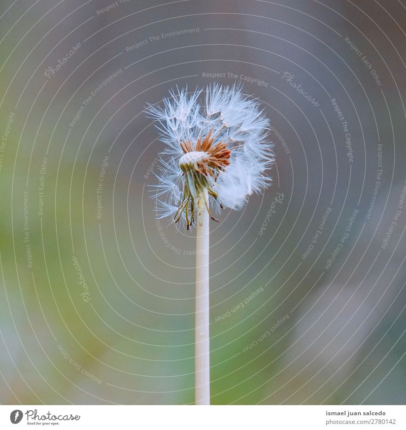 dandelion flower plant Nature Summer Plant Flower Winter Autumn Spring Garden Decoration Soft Beauty Photography Seed Dandelion Consistency Floral