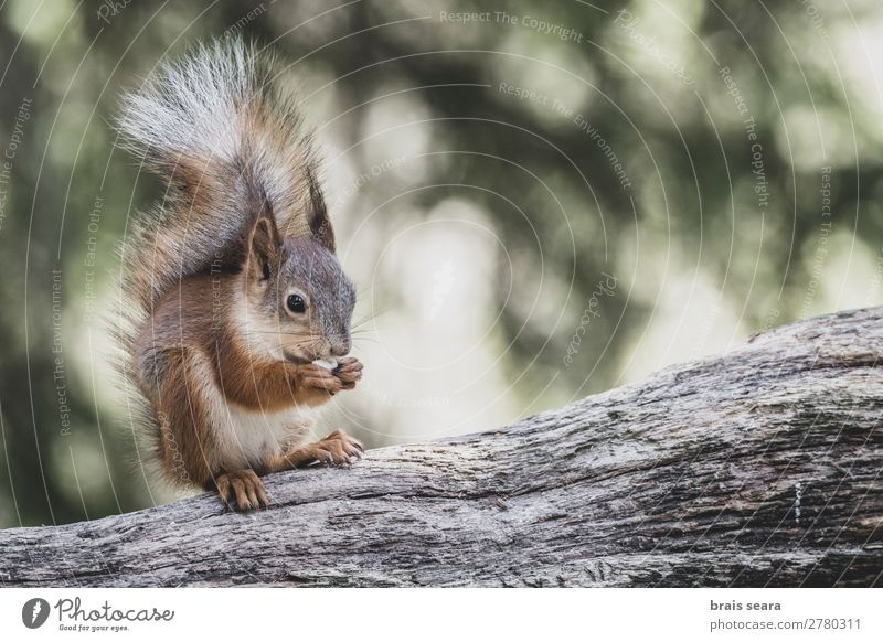 Red Squirrel eating Eating Face Summer Science & Research Environment Nature Animal Earth Autumn Tree Park Forest Fur coat Wild animal Animal face 1 Free