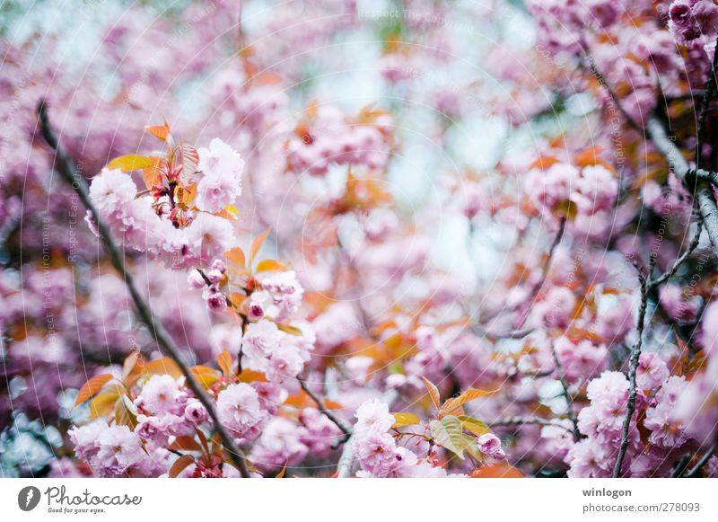 cherry forest in summer 1 Nature Plant Spring Summer Tree Blossom Cherry blossom Cherry tree Cherry Blossom Festival Blossoming Growth Harmonious Colour photo