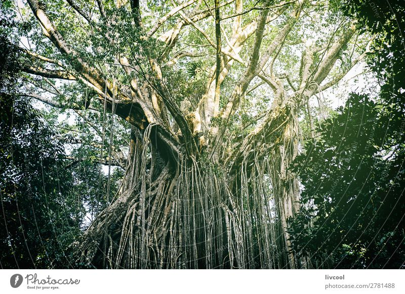 curtain fig tree V , australia Life Sun Nature Landscape Plant Spring Tree Leaf Foliage plant Wild plant Park Dark Green Adventure Contentment Tourism branch