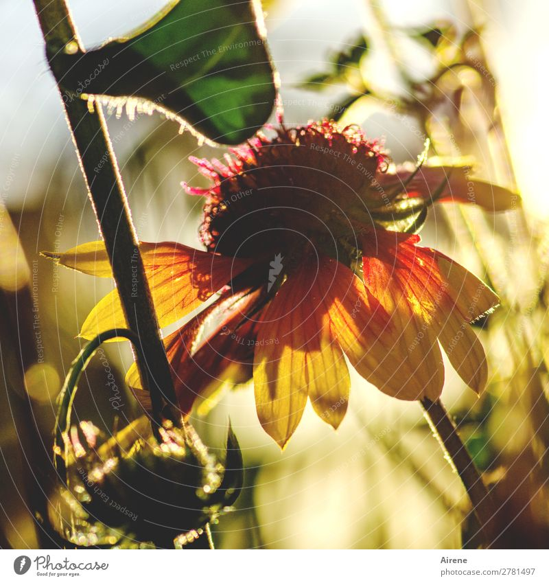 Summer memory Sunlight Beautiful weather Flower cockade flower Blossoming Illuminate Growth Fragrance Bright Natural Warmth Yellow Green Orange Red Contentment