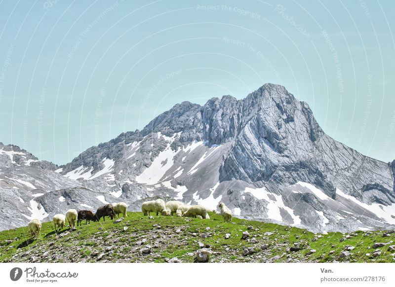 Mountain idyll with mower Vacation & Travel Hiking Nature Landscape Cloudless sky Summer Beautiful weather Snow Grass Rock Alps Peak Animal Farm animal Sheep