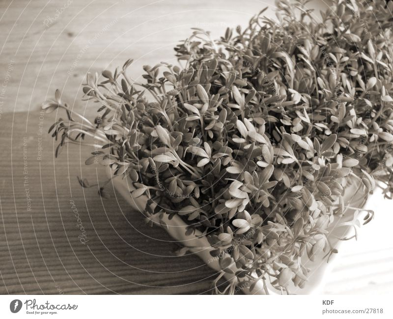 cress Cress Wood Plant Leaf Green Black White Germ KDF Detail Black & white photo