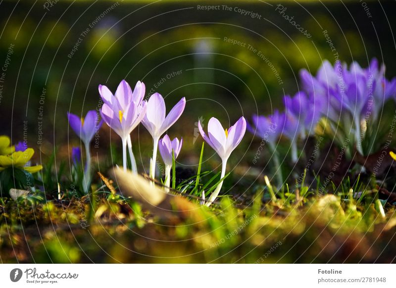 Crocuses ;-) Environment Nature Plant Elements Earth Spring Flower Blossom Garden Park Meadow Fresh Bright Near Natural Green Violet Spring flowering plant