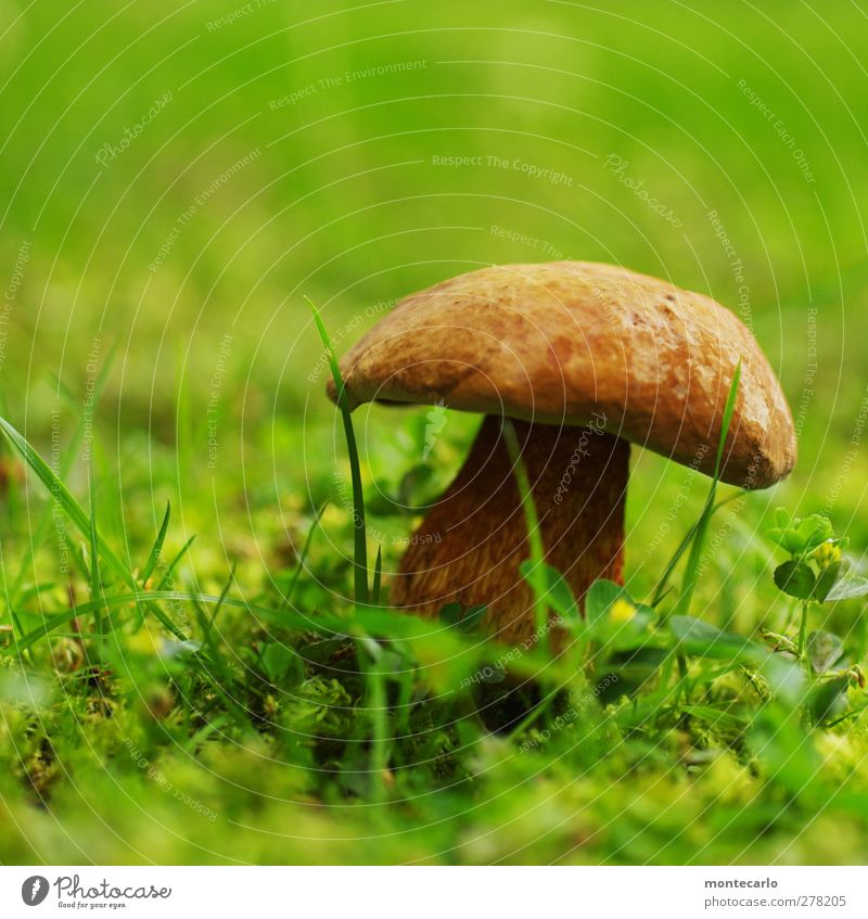Lake shore mushroom Food Mushroom Environment Nature Summer Bad weather Grass Fragrance Authentic Fresh Healthy Glittering Slimy Brown Green Colour photo
