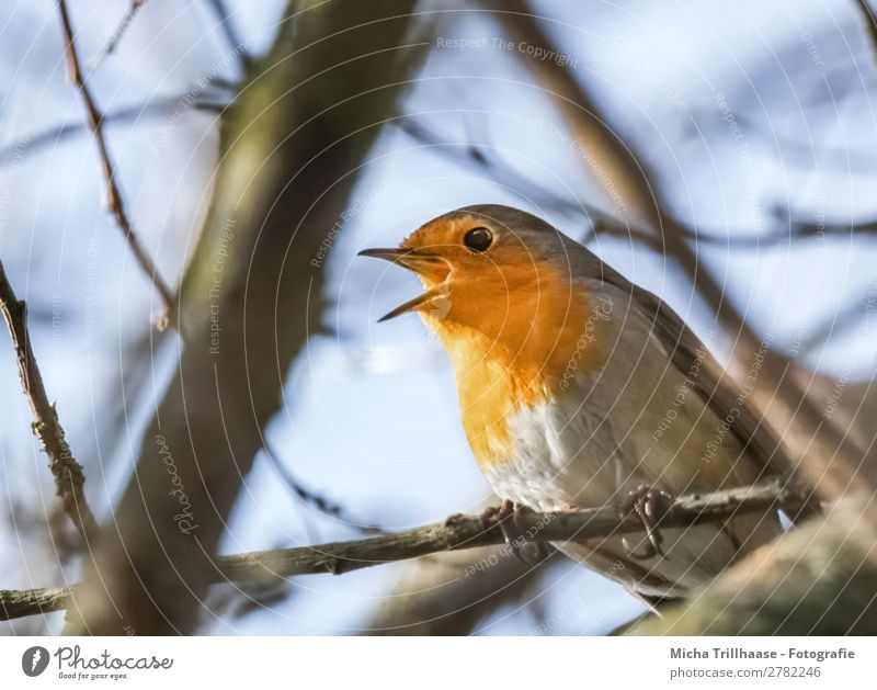 Singing robin Nature Animal Sky Sunlight Beautiful weather Tree Wild animal Bird Animal face Wing Claw Robin redbreast Beak Eyes Feather 1 Illuminate Looking