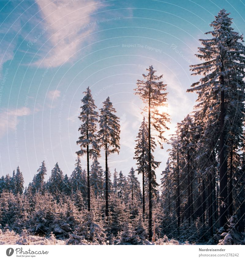 Cheerful to cloudy.... Winter Snow Winter vacation Agriculture Forestry Nature Landscape Plant Sky Clouds Sun Climate Beautiful weather Ice Frost Growth Cold