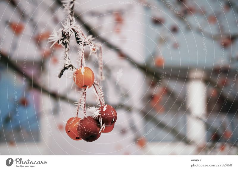 fine frost Environment Nature Plant Winter Ice Frost Tree Twig Berries Freeze Hang Cold Ice crystal Colour photo Exterior shot Detail Deserted Copy Space left