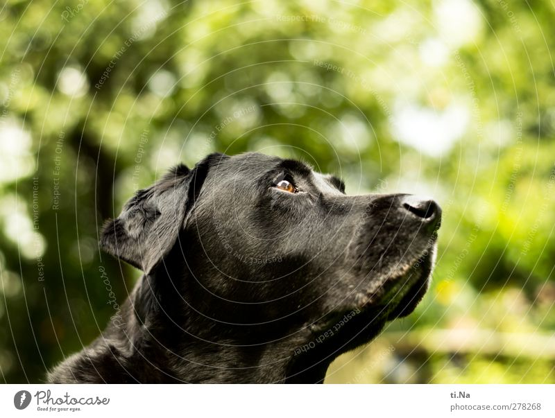 Dog Green Animal Black Yellow Garden Observe Curiosity Friendliness Pet Labrador
