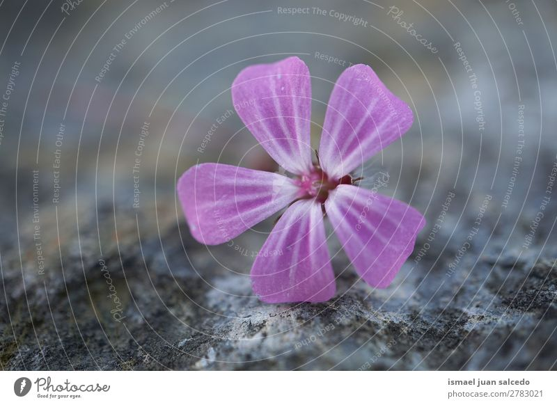 pink flower plant Flower Pink Blossom leave Plant Garden Floral Nature Decoration romantic Beauty Photography fragility background Spring Summer Winter Autumn