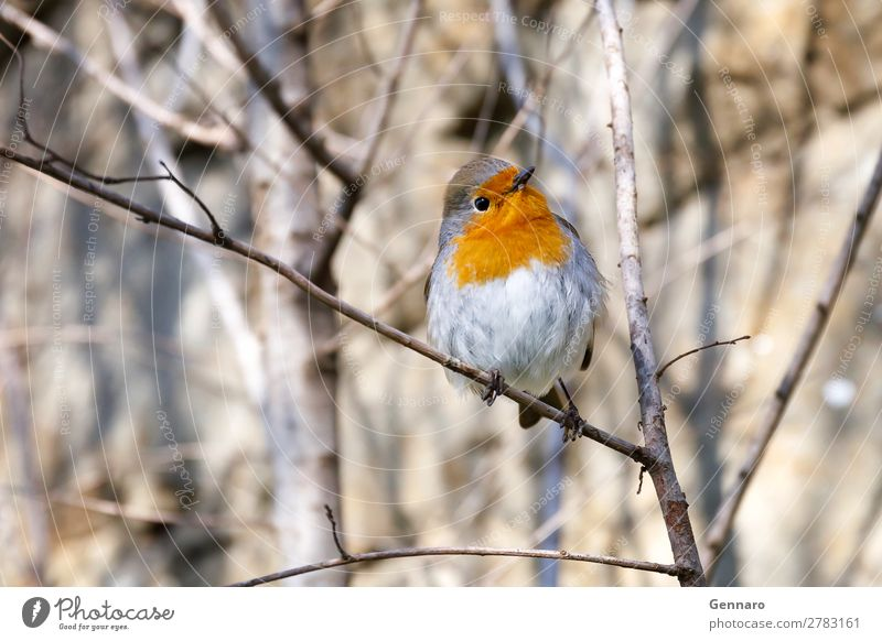 Robin, bird in the branches. Beautiful Nature Animal Tree Bird 1 Stand Bright Small Cute Wild Yellow Orange Happiness Exotic Colour robin wildlife perched