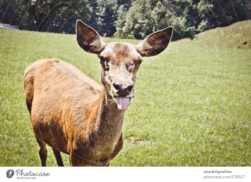 yikes Nature Animal Meadow Forest Wild animal Animal face Pelt Roe deer Hind 1 Brash Funny Crazy Brown Green Joy Tongue Colour photo Exterior shot Sunlight